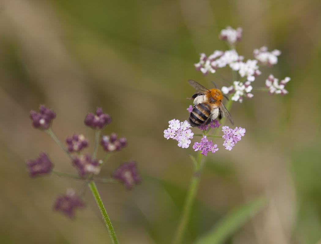 Foto/billede af Mørk Sommerjordbi (Andrena nigriceps)