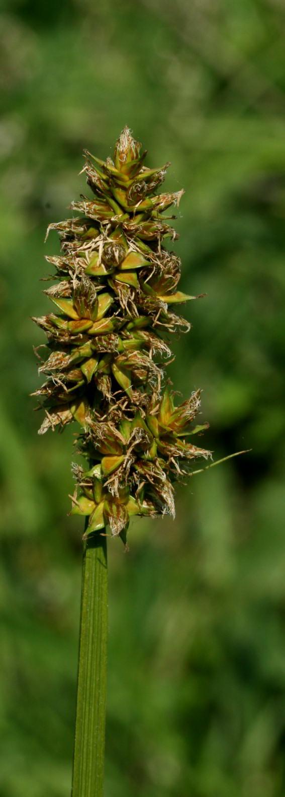 Foto/billede af Ræve-Star (Carex vulpina)