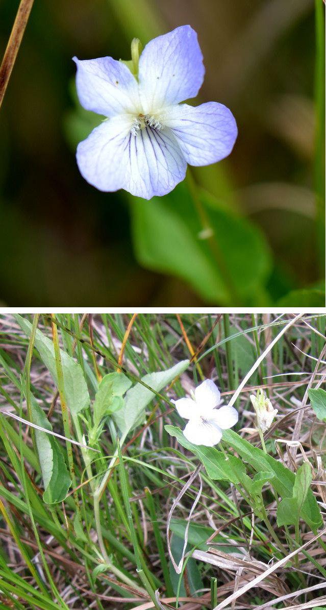Rank Viol (Viola persicifolia)