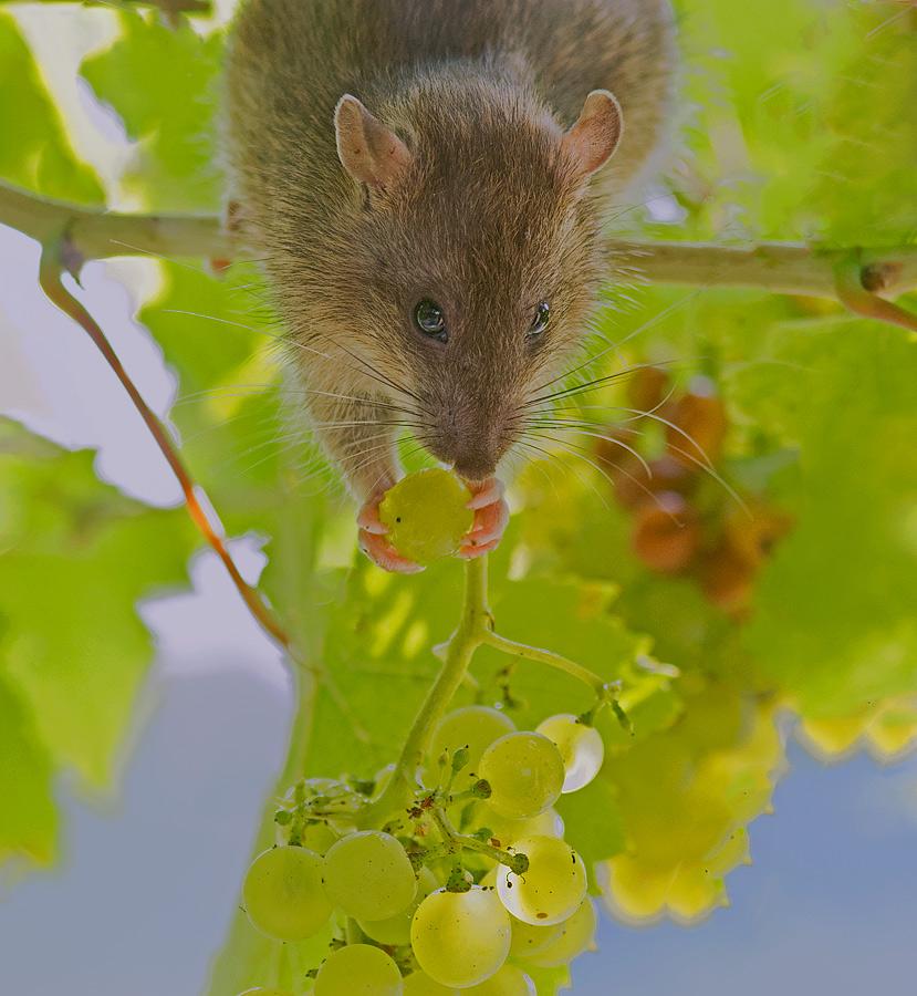Foto/billede af Brun rotte (Rattus norvegicus)