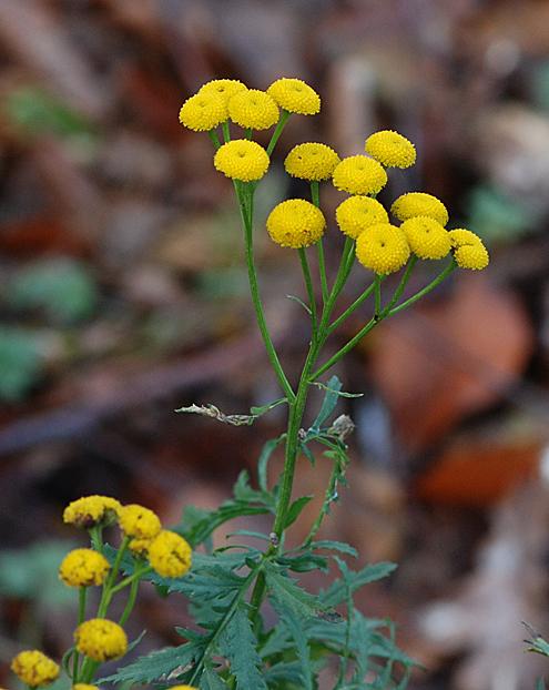 Foto/billede af Rejnfan (Tanacetum vulgare)