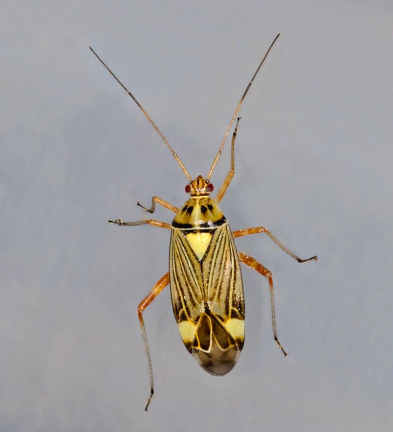 Rhabdomiris striatellus (Rhabdomiris striatellus)