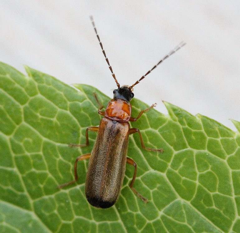 Rhagonycha lutea (Rhagonycha lutea)
