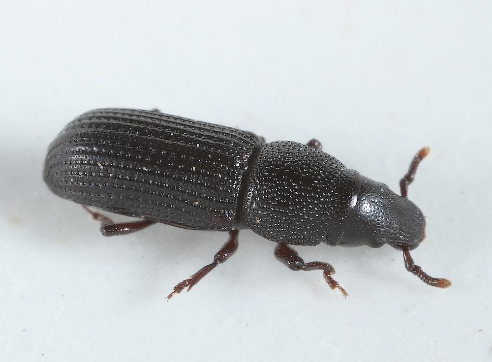 Rhyncolus sculpturatus
