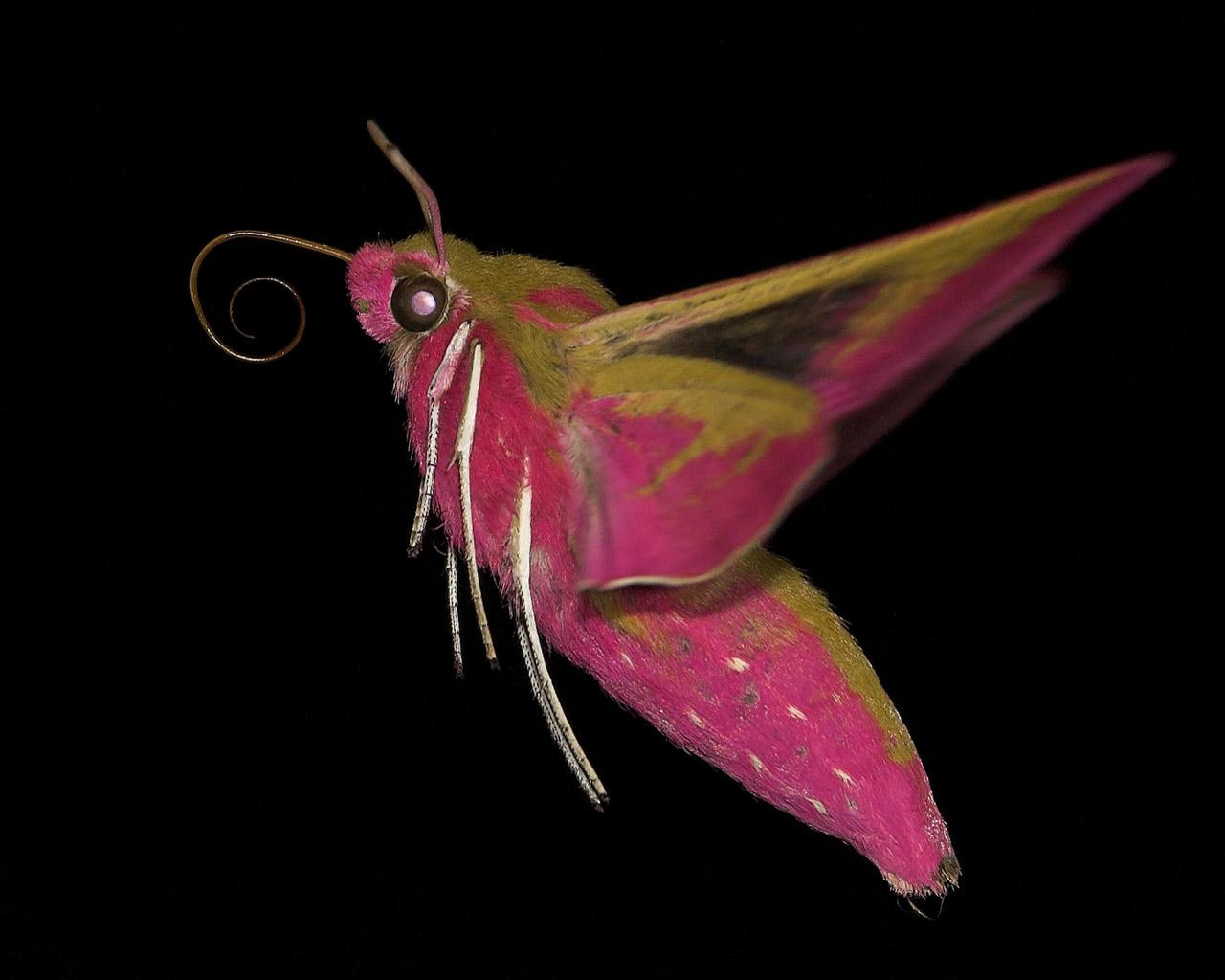 Foto/billede af Dueurtsværmer (Deilephila elpenor)
