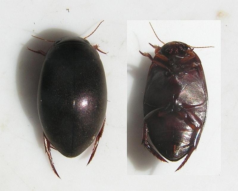 Ilybius subaeneus (Ilybius subaeneus)