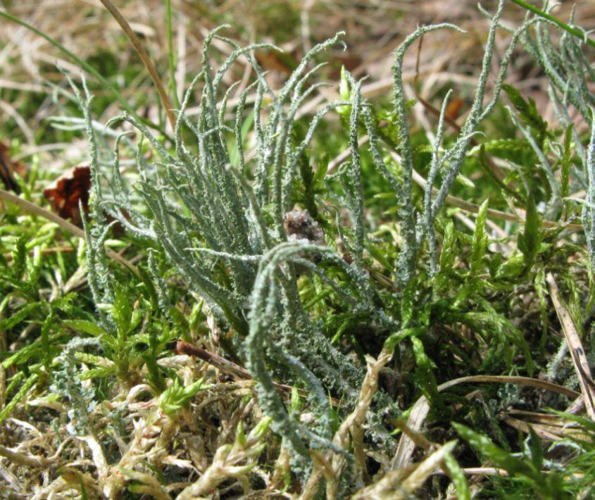 Ru Bægerlav (Cladonia scabriuscula)