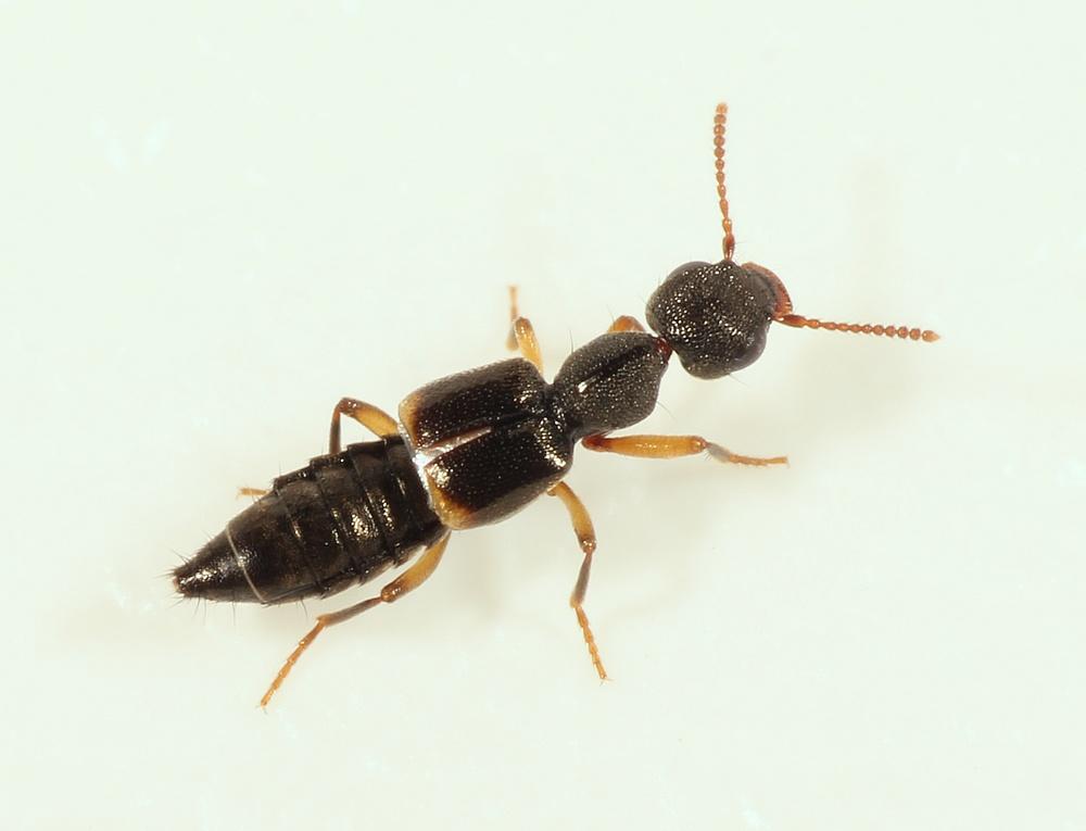 Rugilus orbiculatus