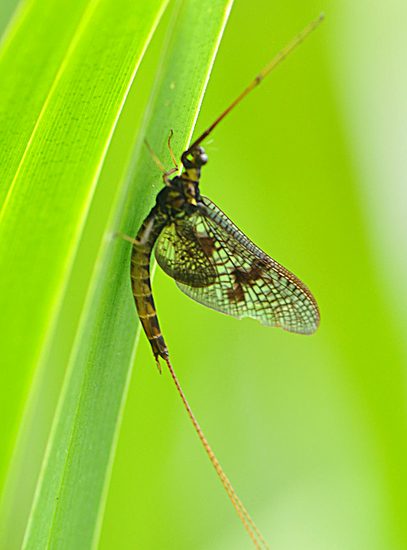 Sø-Majflue (Ephemera vulgata)