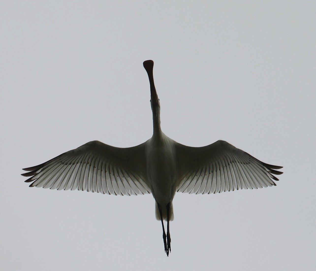 Skestork (Platalea leucorodia)