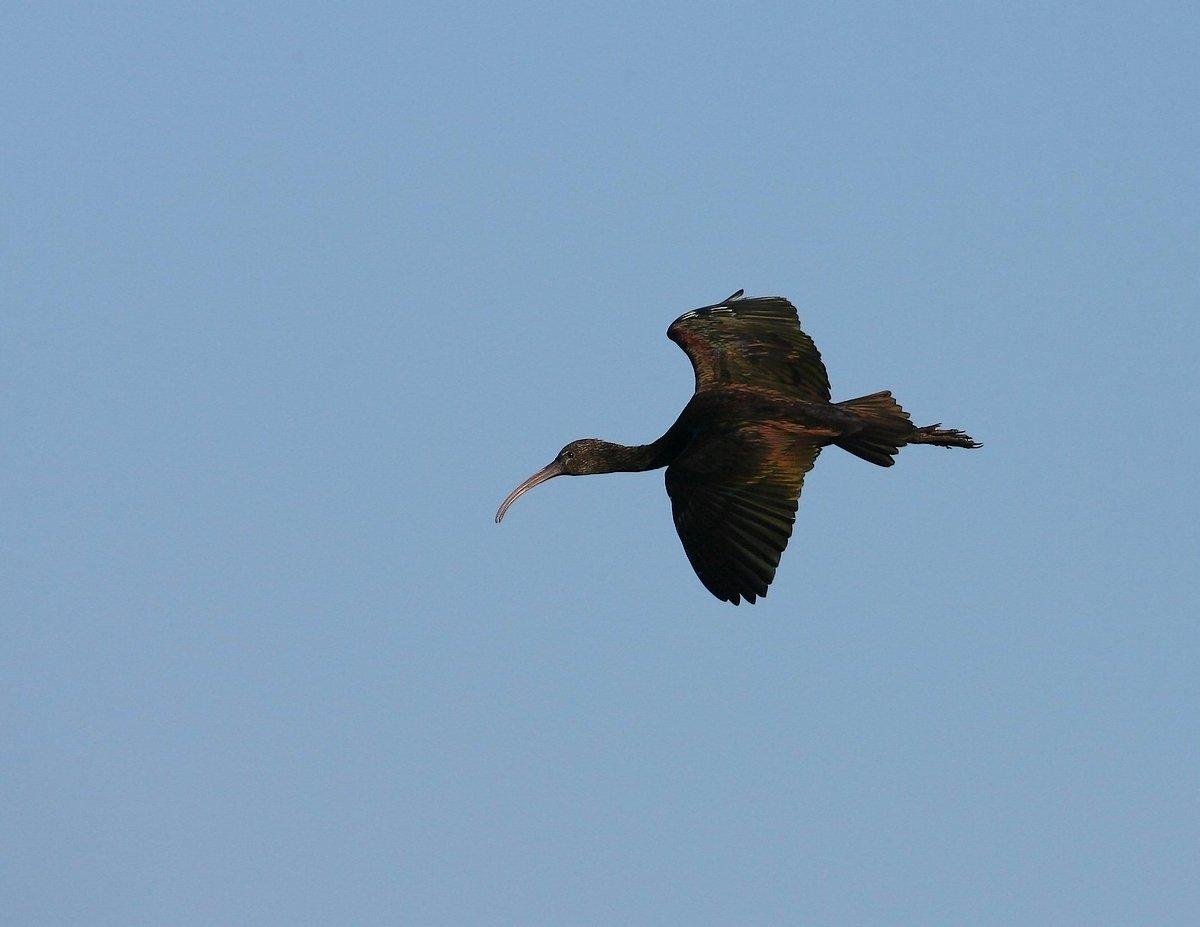 Sort Ibis