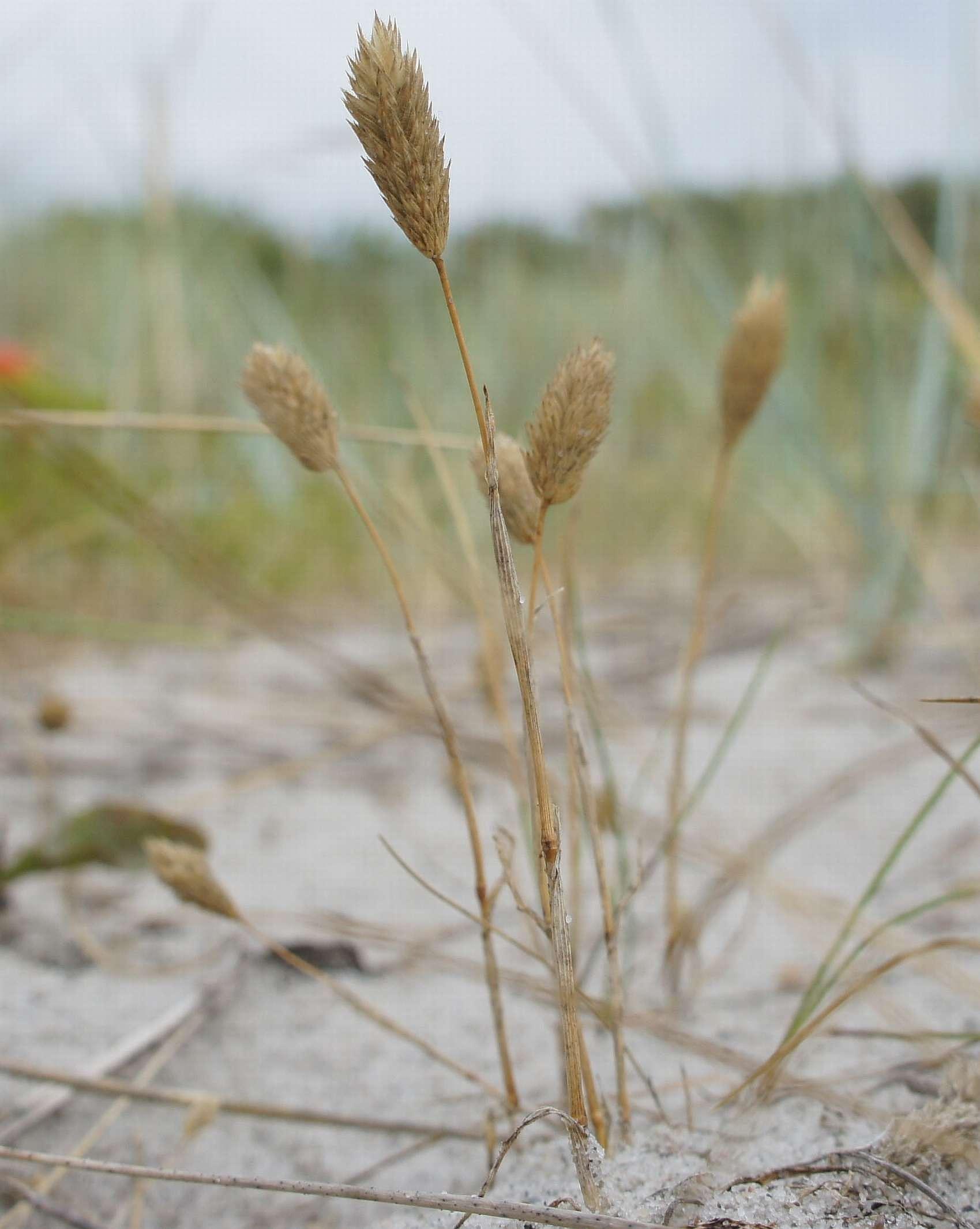Sand-Rottehale (Phleum arenarium)