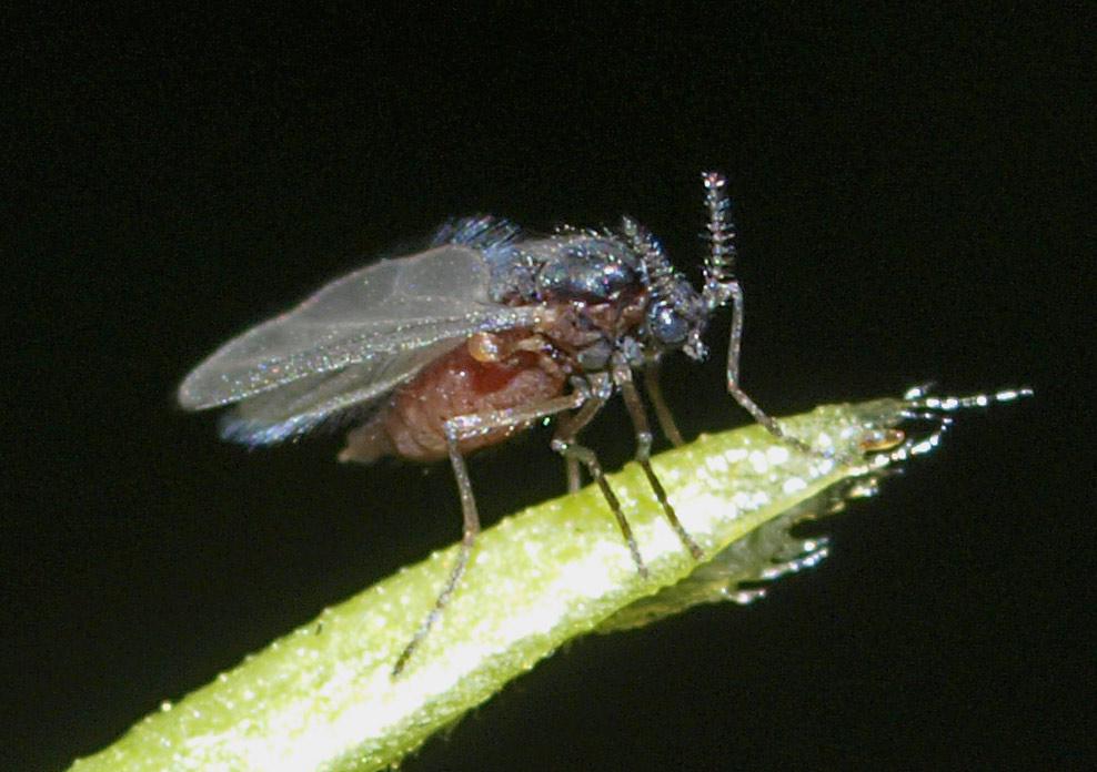 Semudobia sp.