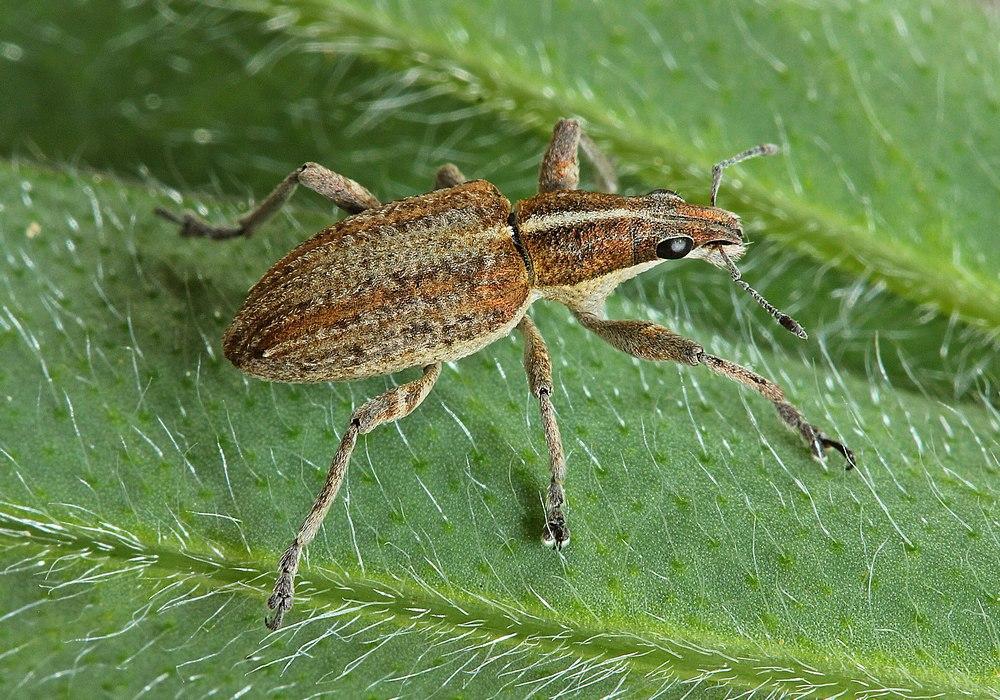 Charagmus gressorius (Charagmus gressorius)