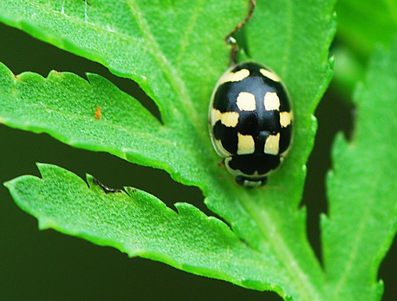 Skakbræt (Propylea quatuordecimpunctata)