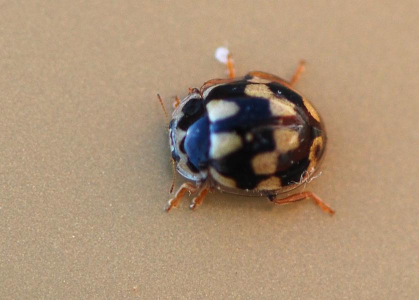 Foto/billede af Skakbræt (Propylea quatuordecimpunctata)