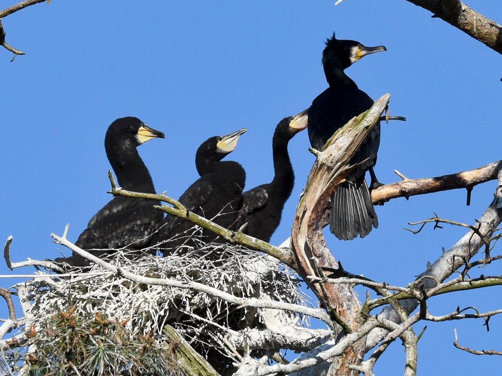 Foto/billede af Skarv (Phalacrocorax carbo)