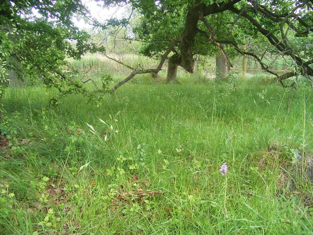 Skov-Gøgeurt (Dactylorhiza maculata ssp. fuchsii)