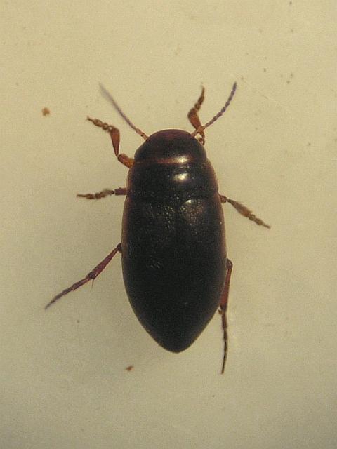 Hydroporus notatus (Hydroporus notatus)