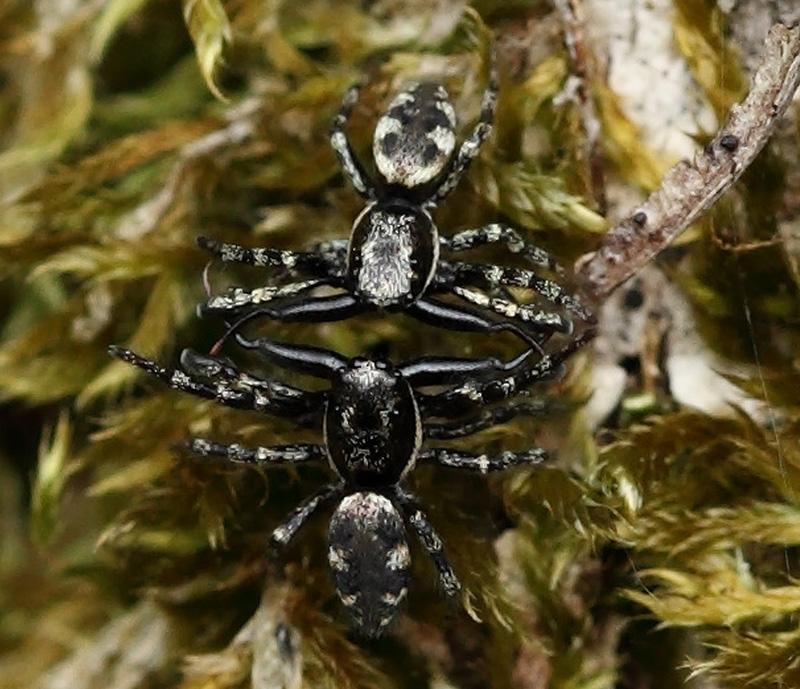 Foto/billede af Skovzebraedderkop (Salticus cingulatus)
