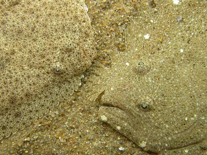 Slethvarre (Scophthalmus rhombus)