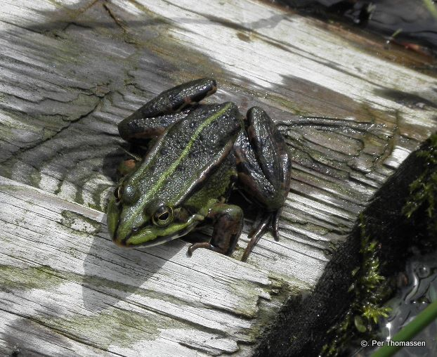 Grøn Frø (Pelophylax esculentus)