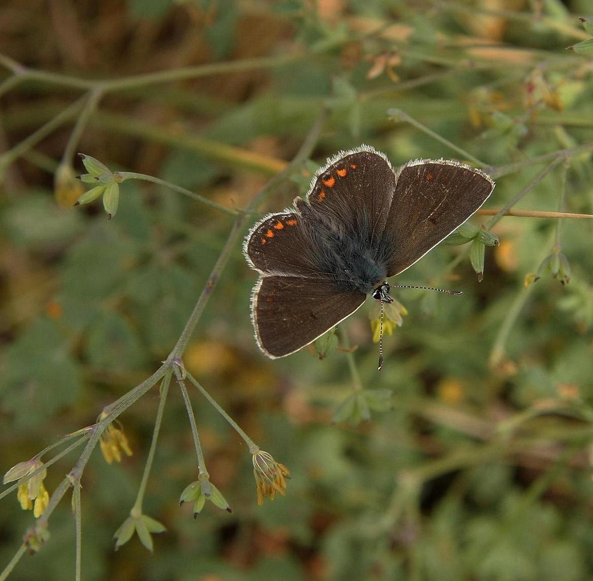Sortbrun Blåfugl (Aricia artaxerxes)