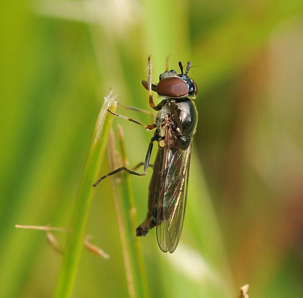 Foto/billede af Sortblå Bredfodsflue (Platycheirus albimanus)