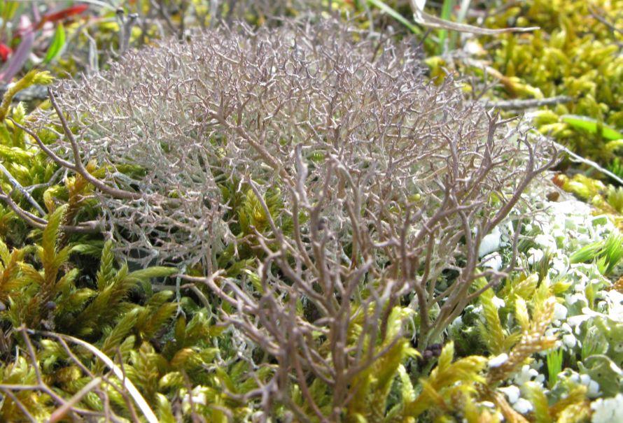 Spættet Bægerlav (Cladonia rangiformis)