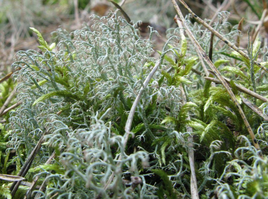 Spinkel Rensdyrlav (Cladonia ciliata f. flavicans)