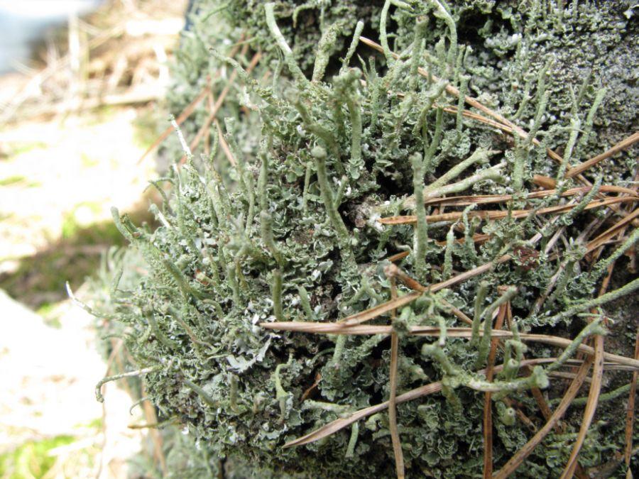 Stød-Bægerlav (Cladonia ochrochlora)