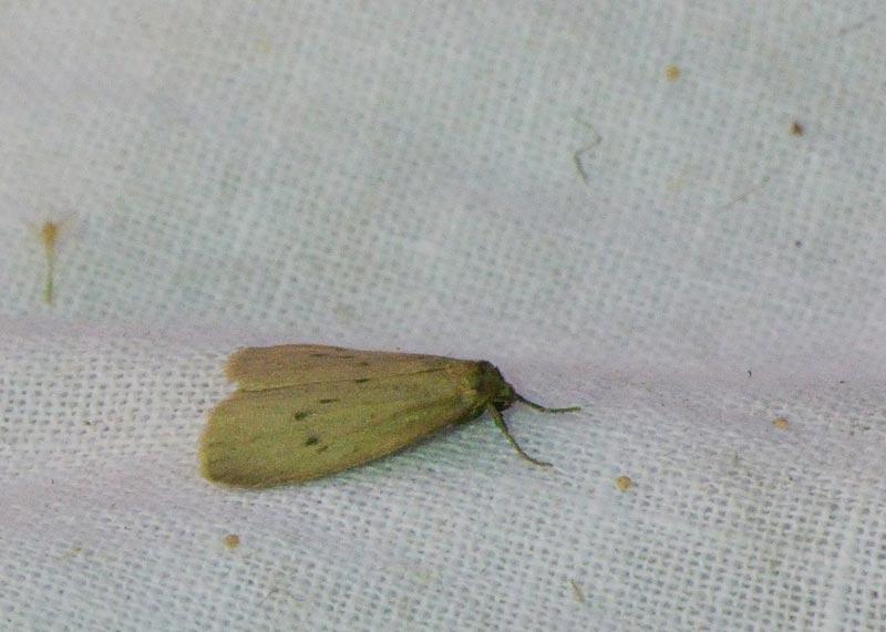 Foto/billede af Moselavspinder (Pelosia obtusa)