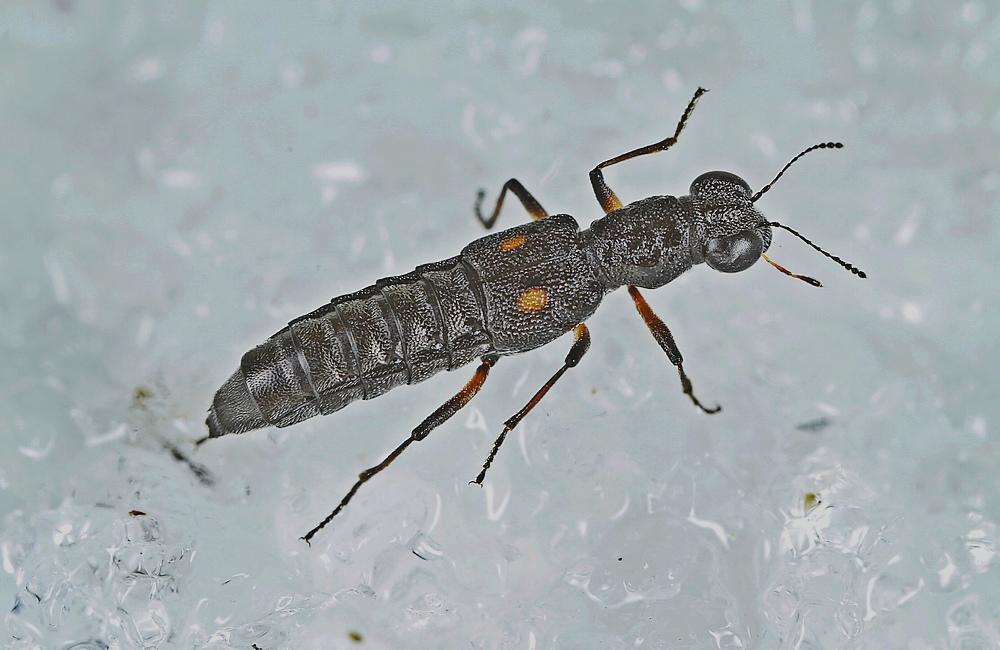 Stenus bimaculatus (Stenus bimaculatus)