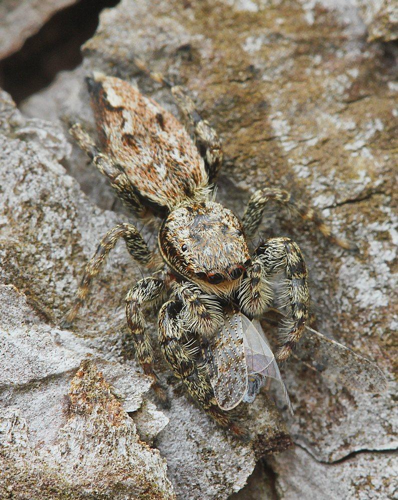 Stor Springedderkop (Marpissa muscosa)