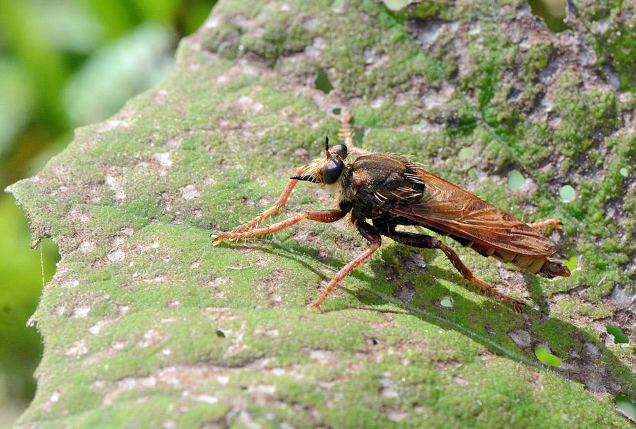 Stor Gødningsrovflue (Asilus crabroniformis)