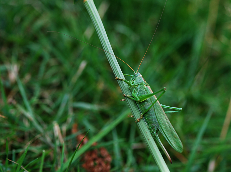 Foto/billede af Stor grøn løvgræshoppe (Tettigonia viridissima)