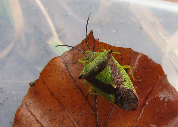 Foto/billede af Stor Løvtæge (Acanthosoma haemorrhoidale)