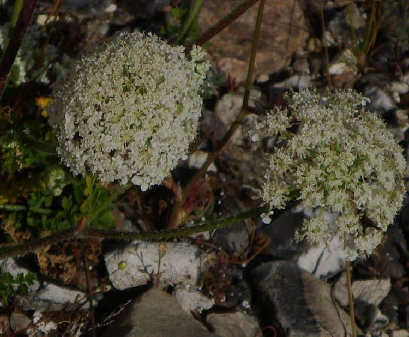 Strand-Gulerod (Daucus carota ssp. gummifer)