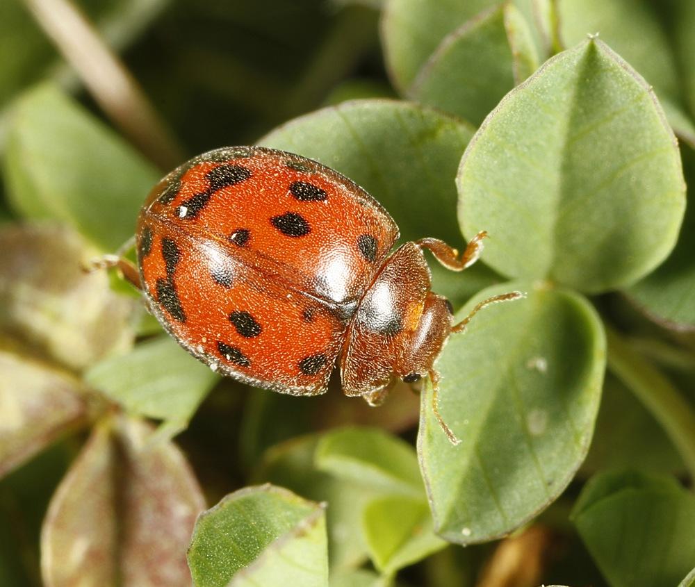 Fireogtyveplettet Mariehøne (Subcoccinella vigintiquatuorpunctata)