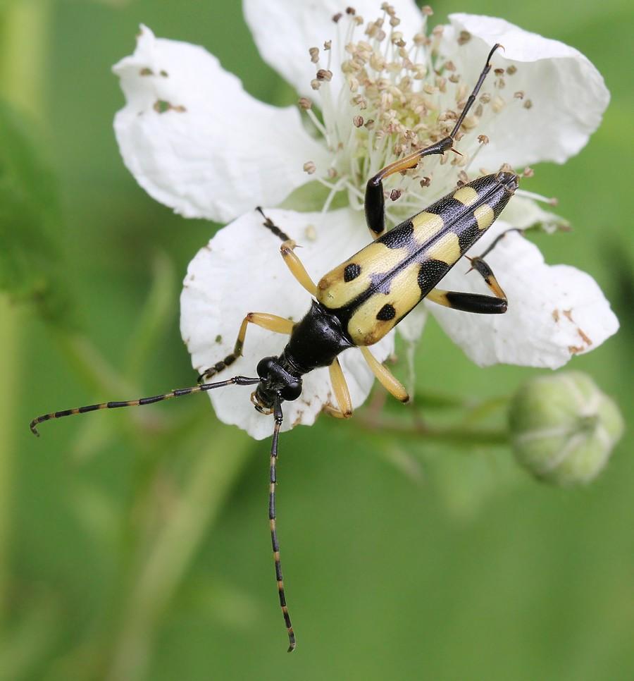 Sydlig Blomsterbuk (Rutpela maculata)