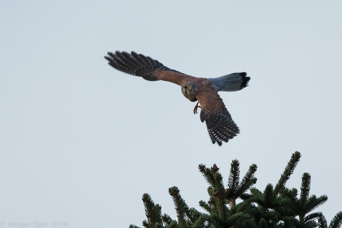 Tårnfalk (Falco tinnunculus)