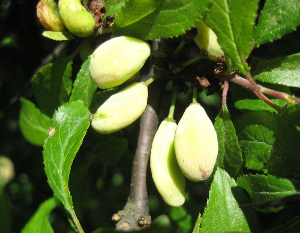 Blommepung (Taphrina pruni)