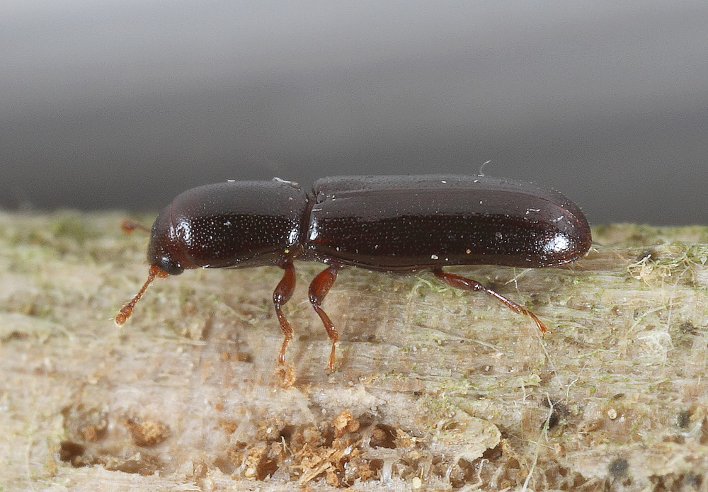 Lille Cylinderbille (Teredus cylindricus)