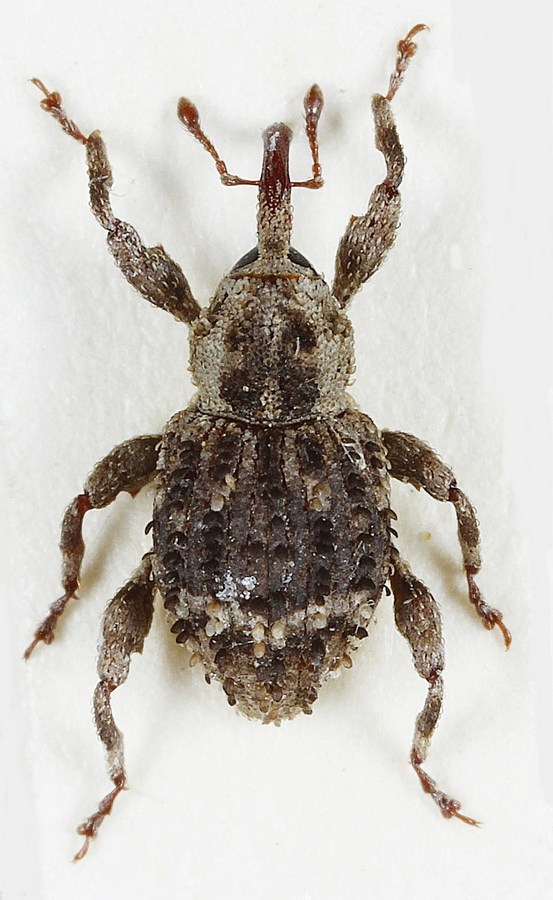 Trachodes hispidus (Trachodes hispidus)