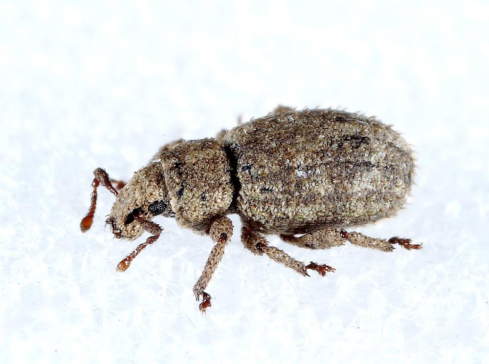 Trachyphloeus rectus