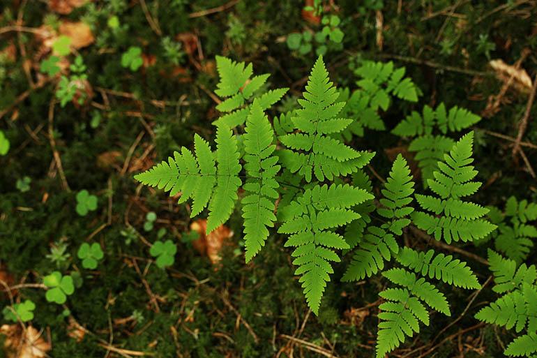 Tredelt Egebregne (Gymnocarpium dryopteris)