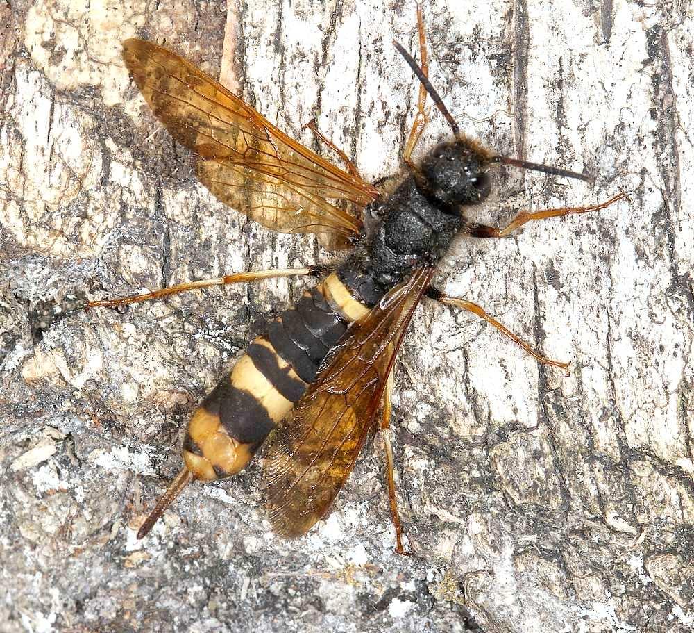 Tremex fuscicornis (Tremex fuscicornis)