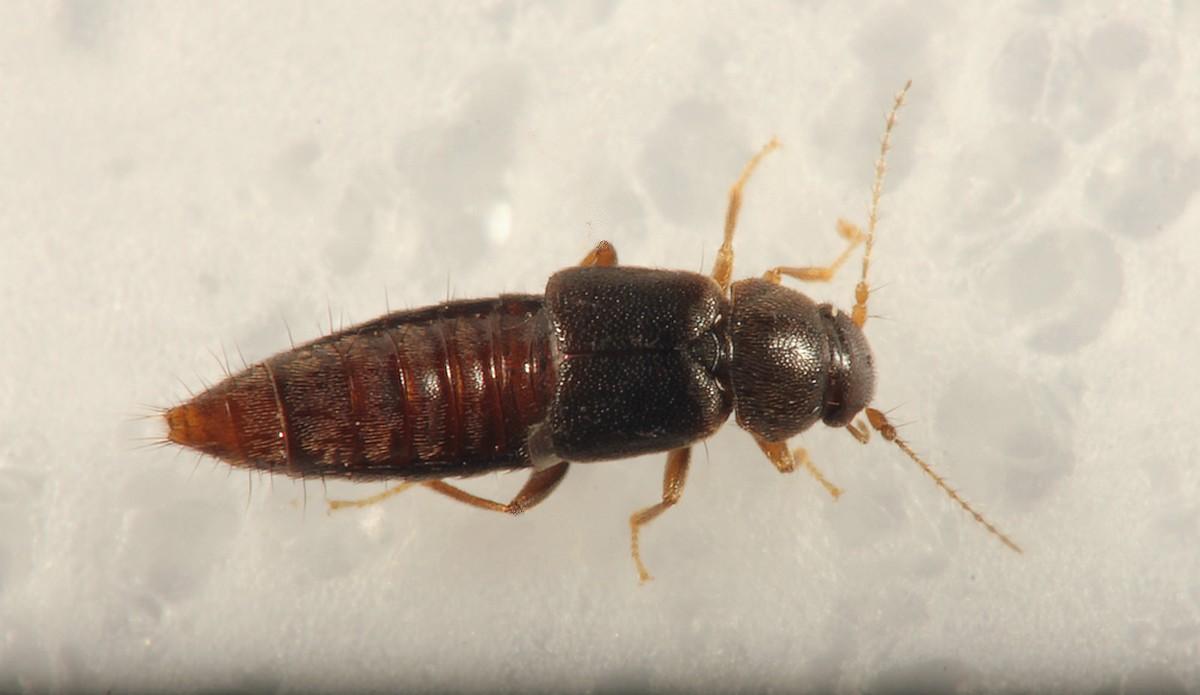 Trichophya pilicornis