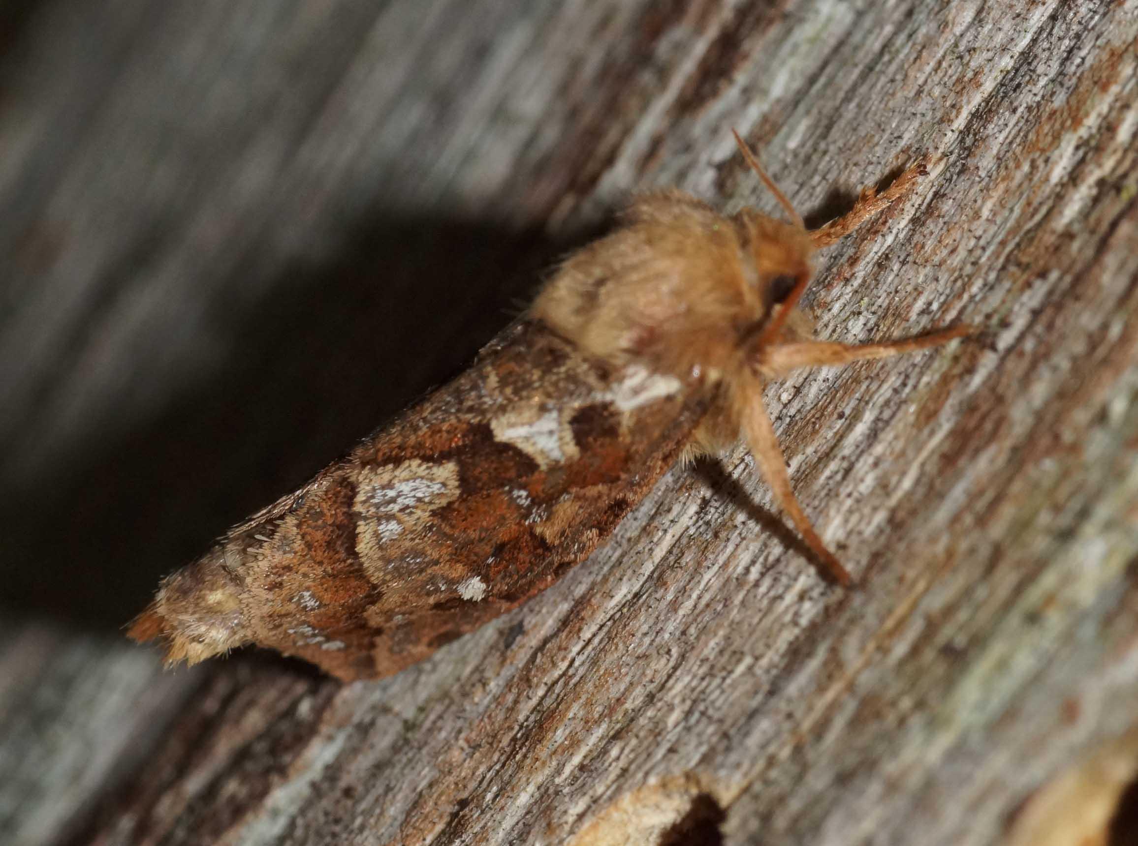 Ørnebregnerodæder (Korscheltellus fusconebulosa)