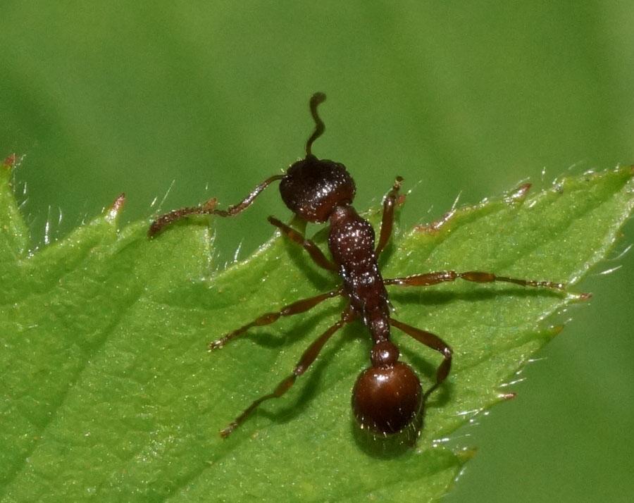 Stikmyre sp. (Myrmica sp.)
